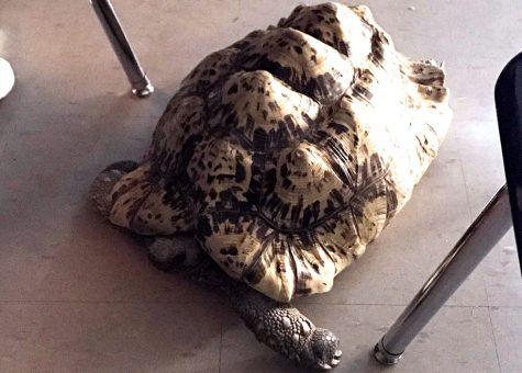 School tortoise dies