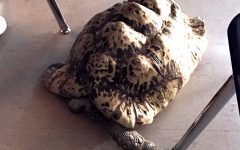 Maize tortoise Darwin died Tuesday.  Photo submitted by senior Brennon Hickman.